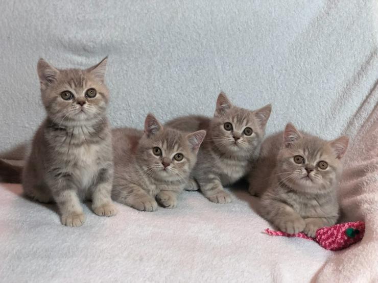 Reinrassige BKH Kitten vom Int. Champion Kater in seltenen Farben