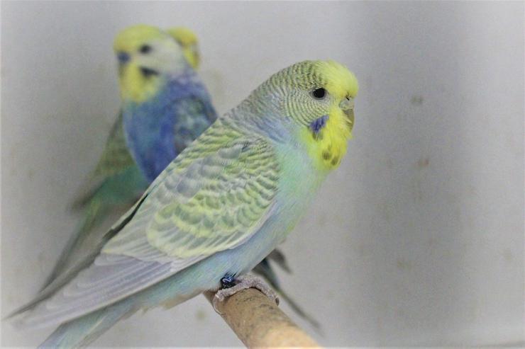 Bild 2: Verkaufe´junge Rainbowwellensittiche 2-4 Monate alt