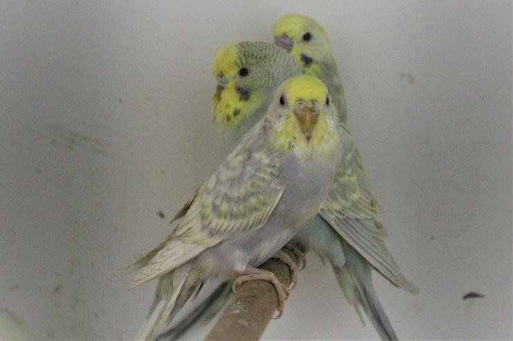 Bild 4: Verkaufe´junge Rainbowwellensittiche 2-4 Monate alt