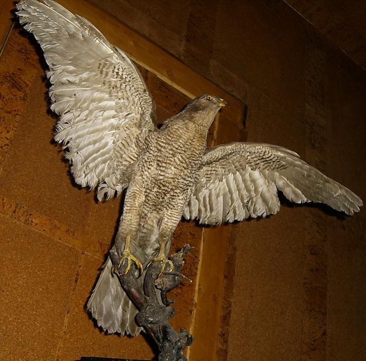 Habicht  Falke Präparat 89cm flügelspann
