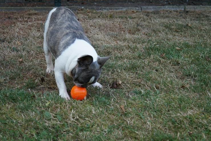 Bild 2: Französische Bulldogge