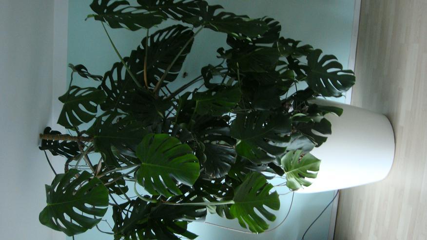 Große Solitärpflanze in Lechuza