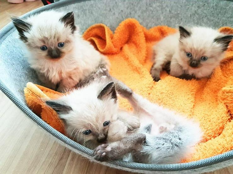 4 Wunderschöne Ragdoll Baby Kätzchen mit Stammbaum suchen ihr Zuhause