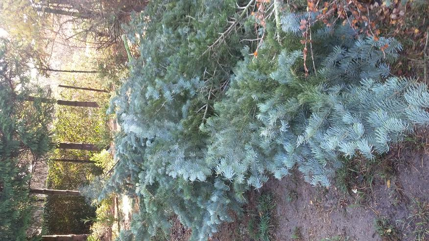 Colorado-Tannengrün und -Baumstammstücke