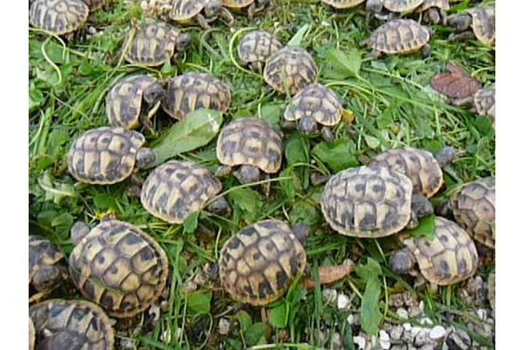 Griechische und Maurische Landschildkröten aus eigener Nachzucht 2018 - Schildkröten - Bild 1
