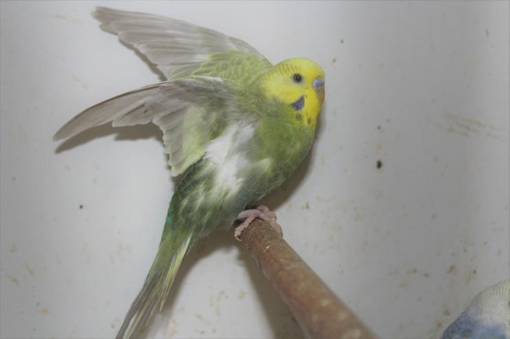 Verkaufe´junge und nestjunge Rainbowwellensittiche ab 7 Wochen- 4 Monate alt