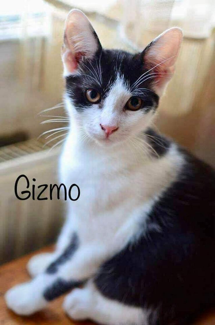 Gizmo (Kater aus dem Tierschutz) sucht ein Zuhause