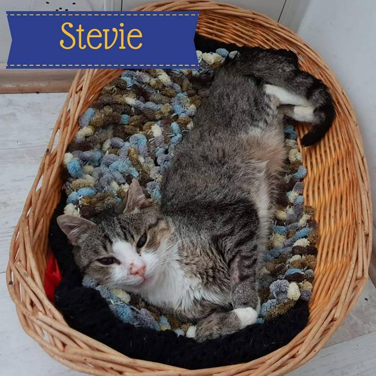 Stevie (Kater aus dem Tierschutz) sucht ein Zuhause
