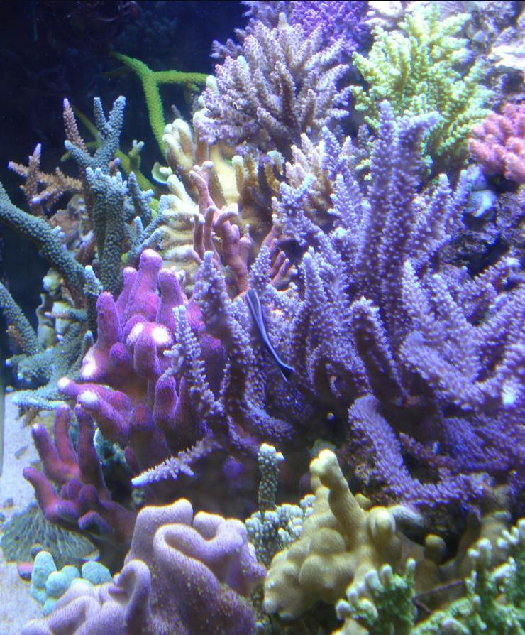 Korallenableger Meerwasser Korallen Koralle Ableger SPS LPS Weichkorallen Scheibenanemomen