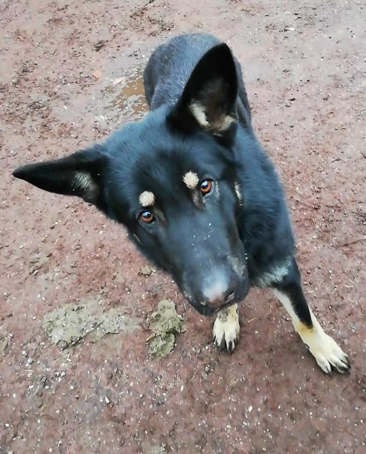 Bild 4: 2 Reinrassige Deutsche Schäferhunde zu vermitteln