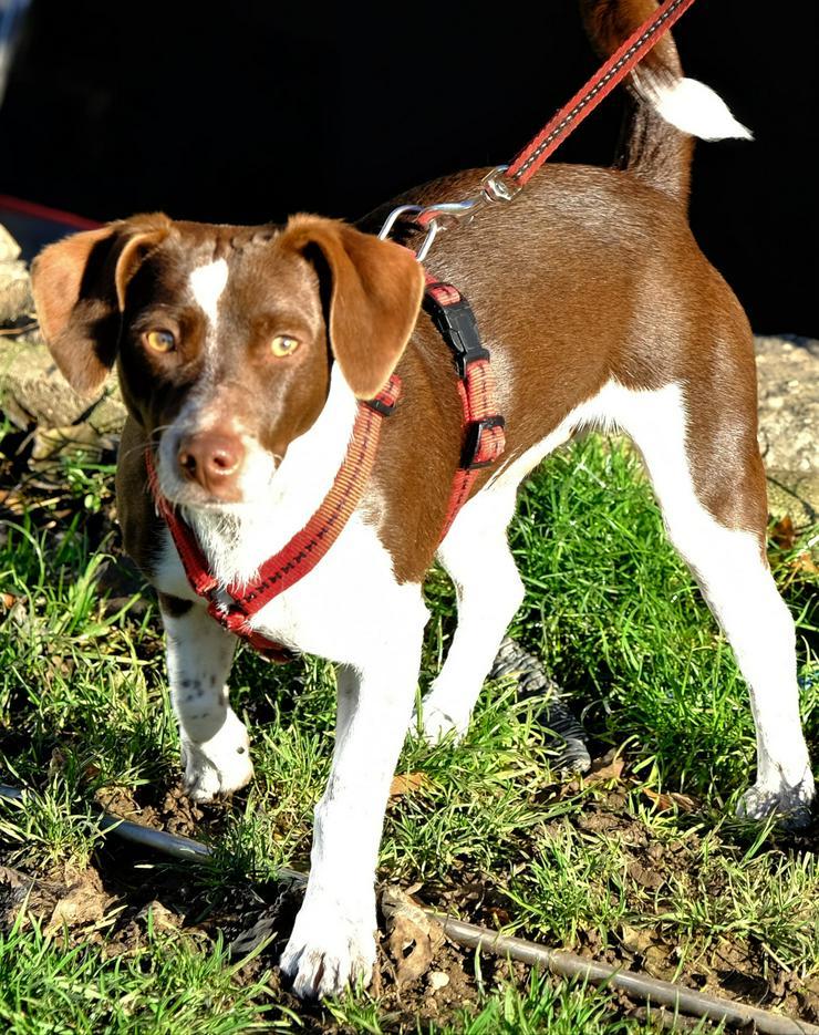 Fröhlicher Jack Russel Terrier Mix, 9M