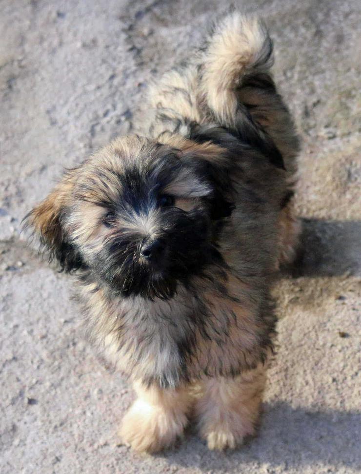 Bilder Zu Tibet Terrier In Zobel Hundin In Temnitztal Kerzlin Auf Kleinanzeigen De