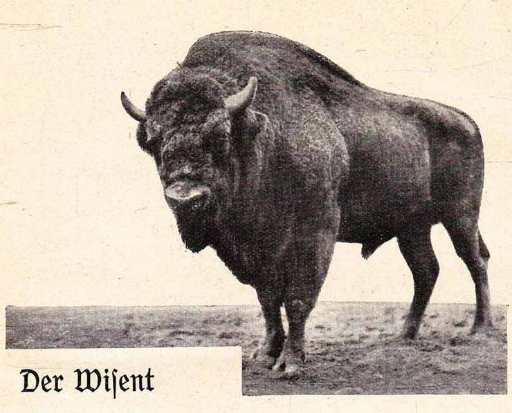 Bild 2: Buch von Dr. Kurt Floericke - Wisent und Elch - Zwei urige Recken