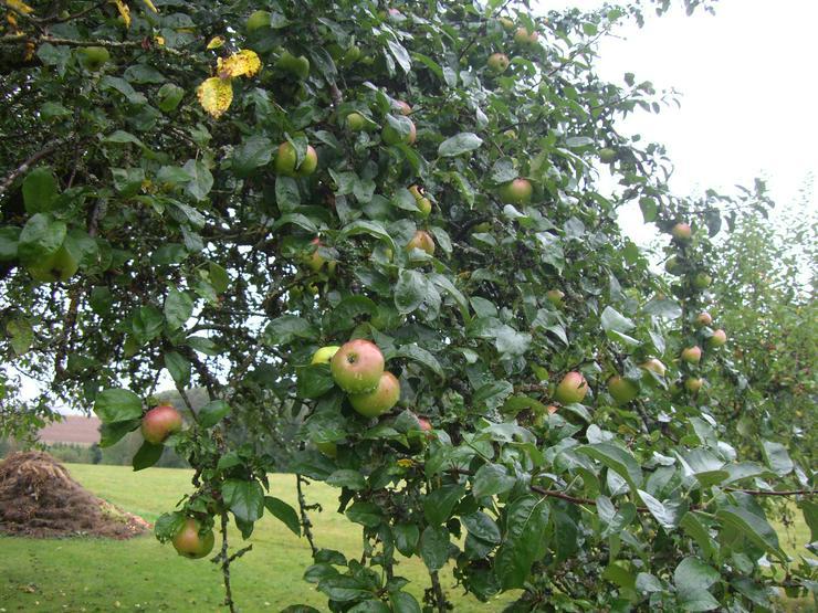 Brettacher Äpfel, ungespritzt, Preis 50 Cent / Kg