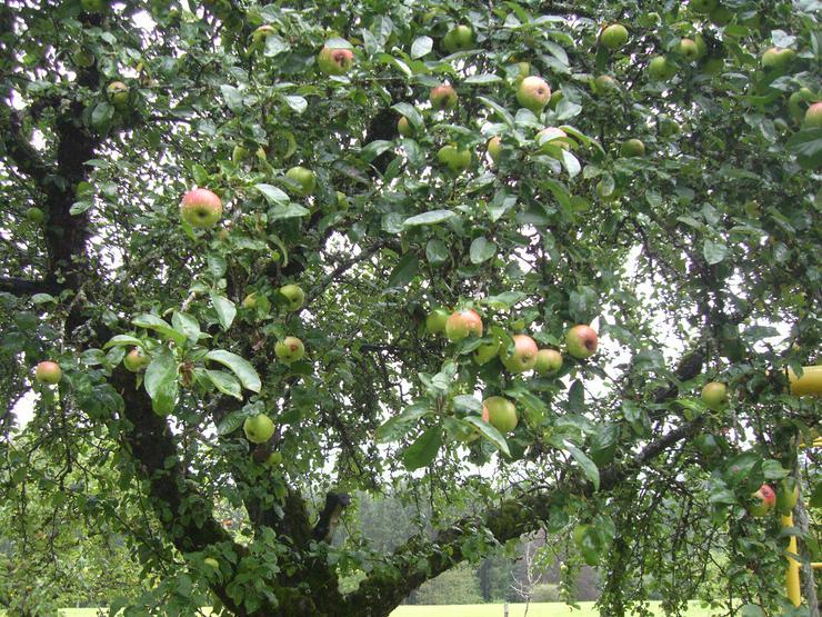 Bild 2: Brettacher Äpfel, ungespritzt, Preis 50 Cent / Kg