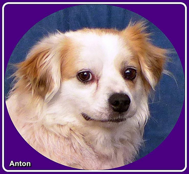 Anton - ruhig, verschmust, anhänglich, intelligent
