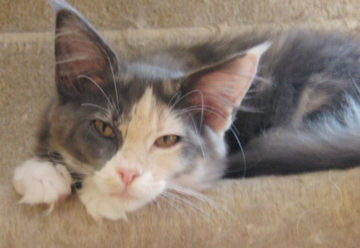 Maine Coon Kitten Fenja ist noch frei!
