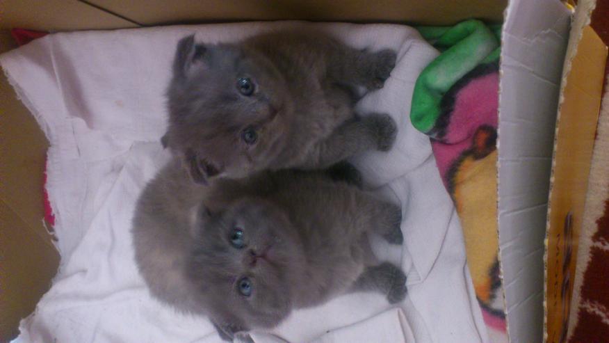 Scottish Fold Katzenbabys