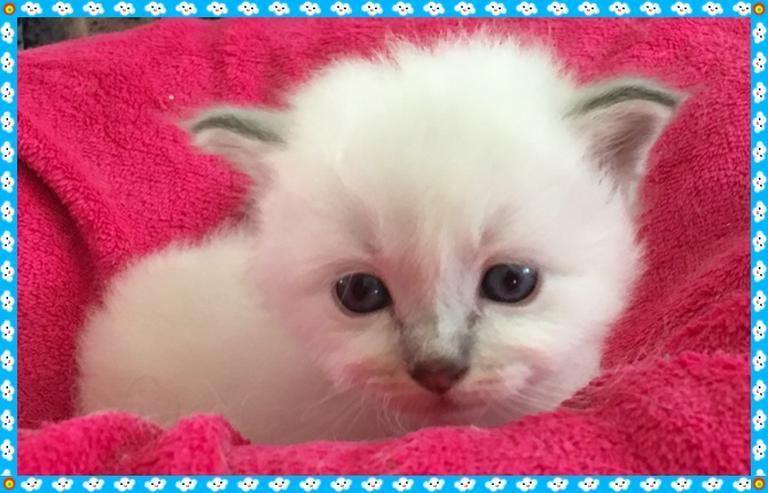 Wir haben  Birma Kitten da