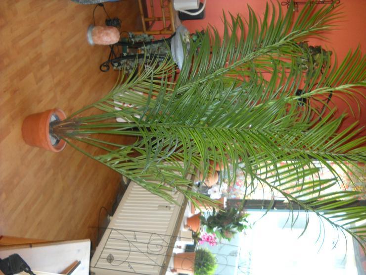 Naturgetreue Areca-Kunstpalme, 190 cm, mit Teracotta-Übertopf zu verkaufen