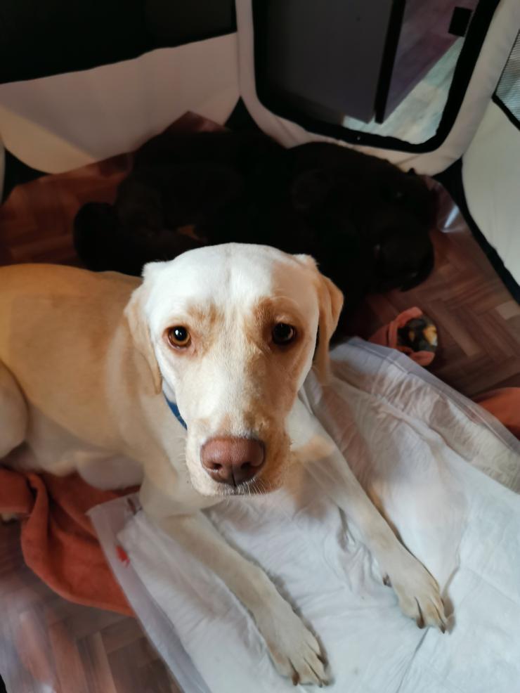 Bild 6: Labrador Welpen