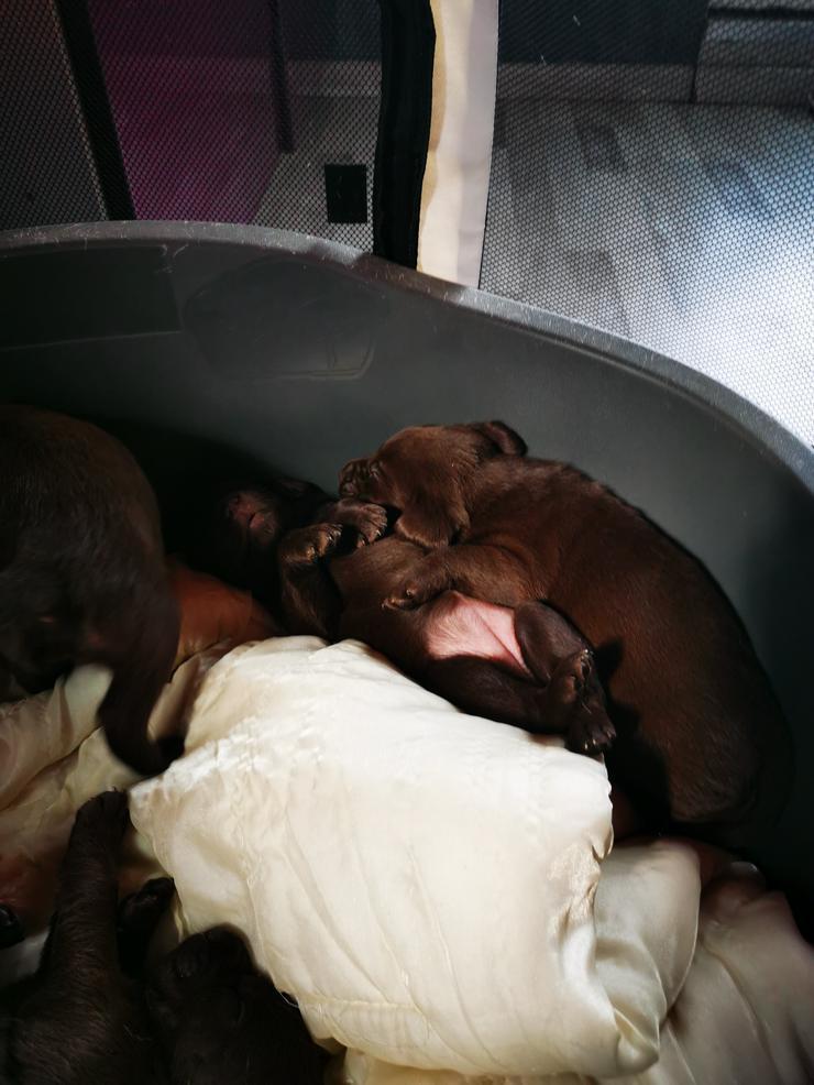 Bild 4: Labrador Welpen