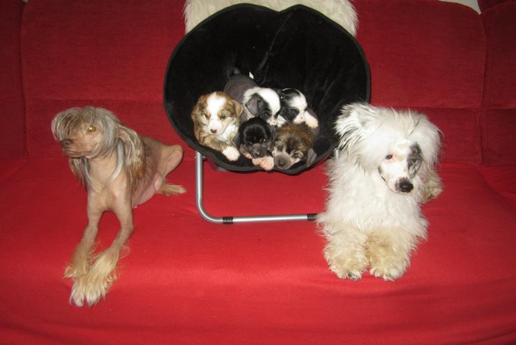"""5 wunderschöne Welpen """"Chinese Crested Dog's"""" (Chinesischer Schopfhund) sehr schöne Farben"""
