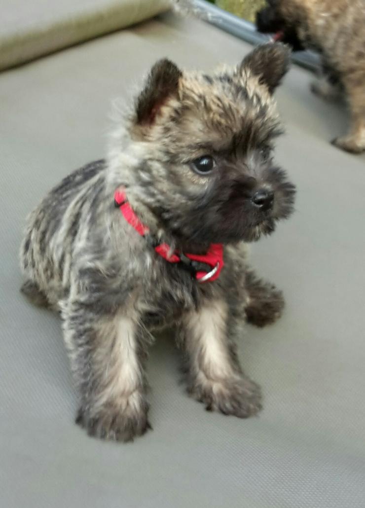 Cairn Terrier Welpen suchen ein neues zu Hause