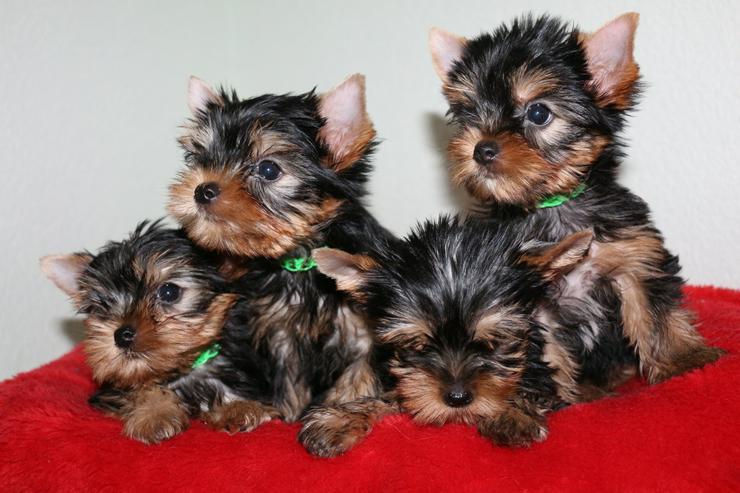Yorkshire-Terrier-Welpen