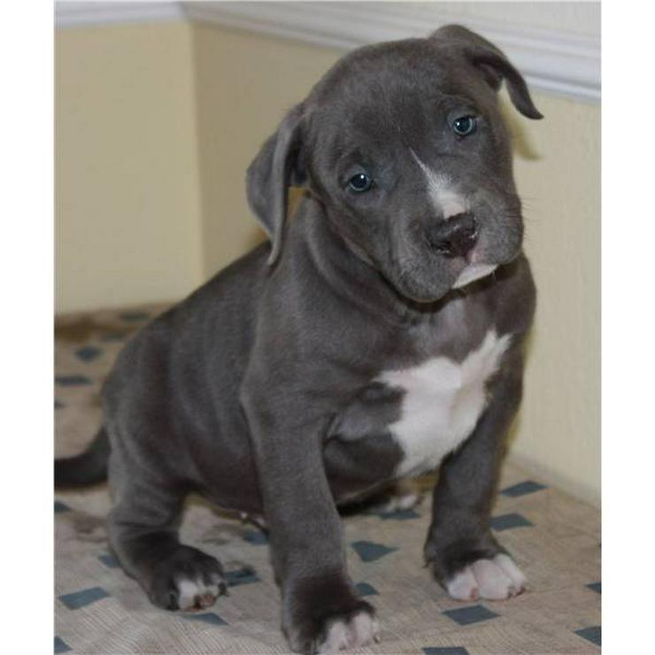 blueline pitbull welpen kaufen