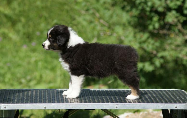 Australischer Schäferhund, Hündin, geboren am 02.06.2019