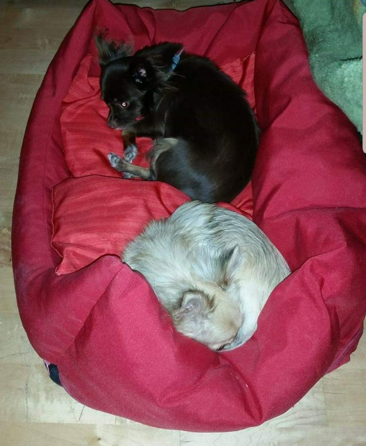 Ältere Chihuahuas
