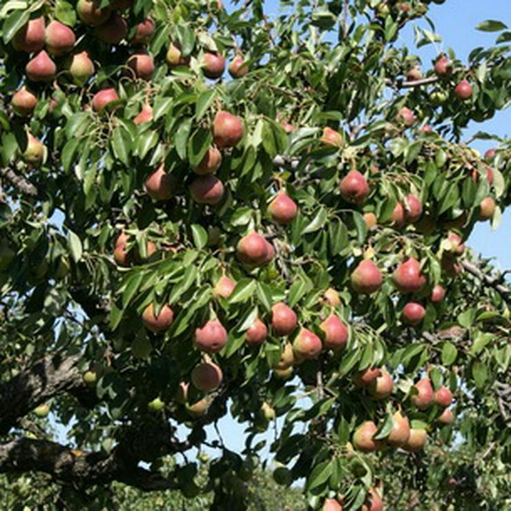 Bild 5: Obstbäume zu verkaufen