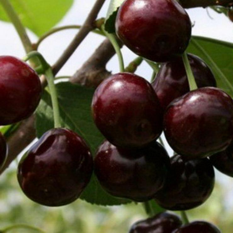 Obstbäume zu verkaufen - Pflanzen - Bild 1
