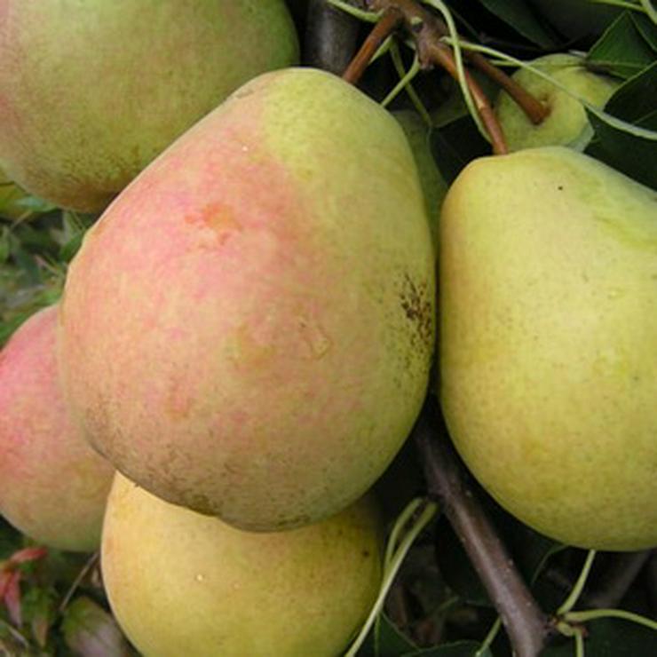 Bild 6: Obstbäume zu verkaufen
