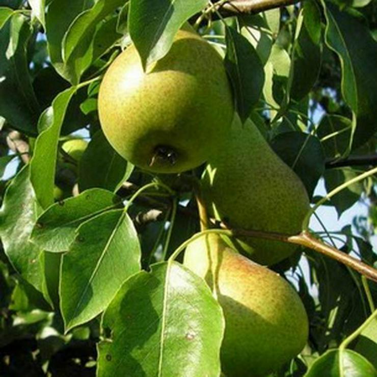 Bild 3: Obstbäume zu verkaufen