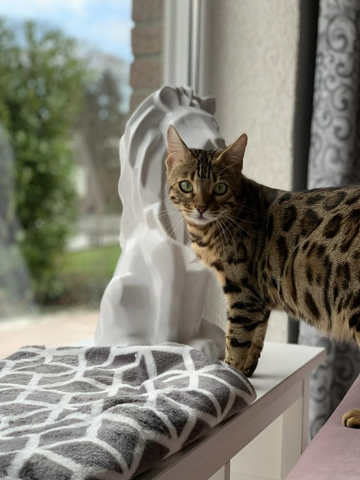 Zauberhafte Bengalin/Mini-Leopardin zu verkaufen