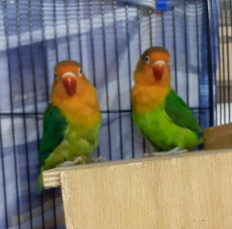 2 Agaporniden; Pfirsichköpfchen; Unzertrennliche; kleine Papageien mit Eier abzugeben