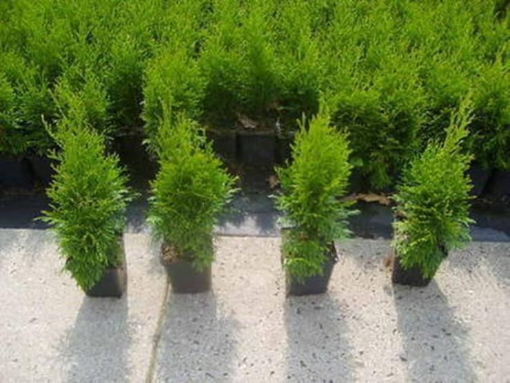 50 Stück Thuja Smaragd Lebensbaum 20-30 cm