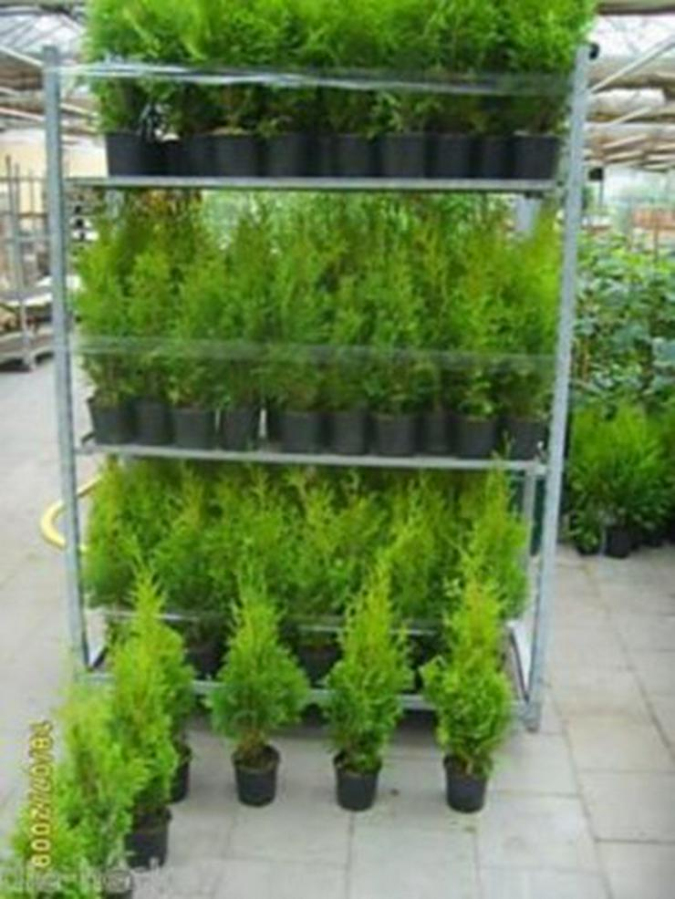 50 Stück Thuja brabant Lebensbaum 20-30cm