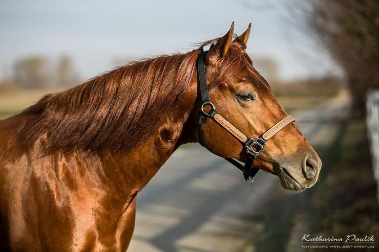 Deckanzeige - Quarter Horse