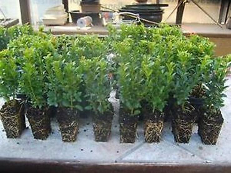 Buchsbaum 100 Stück Hecken Buxus 10-15 cm