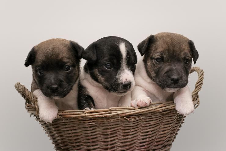 5 Jack Russell Terrier Welpen (m/w) vom Bauernhof