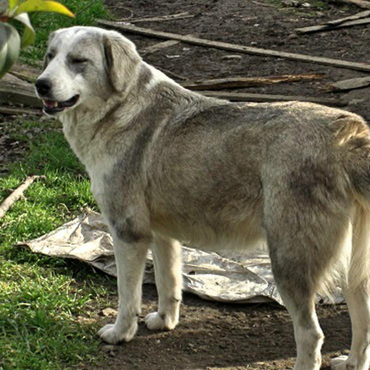 Banja - Pflegestelle gefunden-vorgemerkt - Mischlingshunde - Bild 1