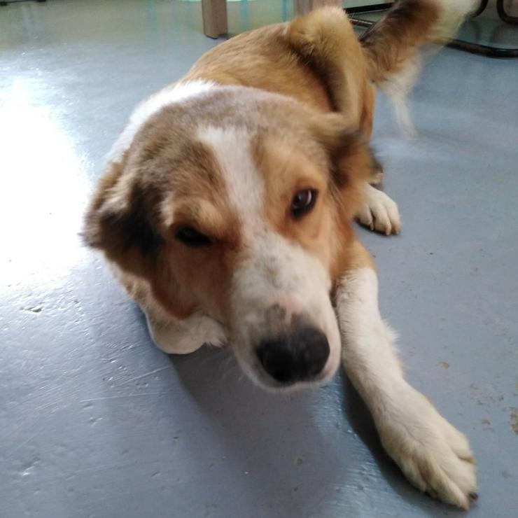 Haliki - liebe und ruhige Hündin - Mischlingshunde - Bild 2