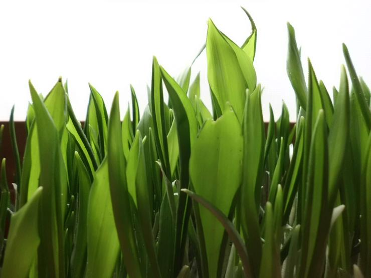 28 Frische Bärlauchpflanzen