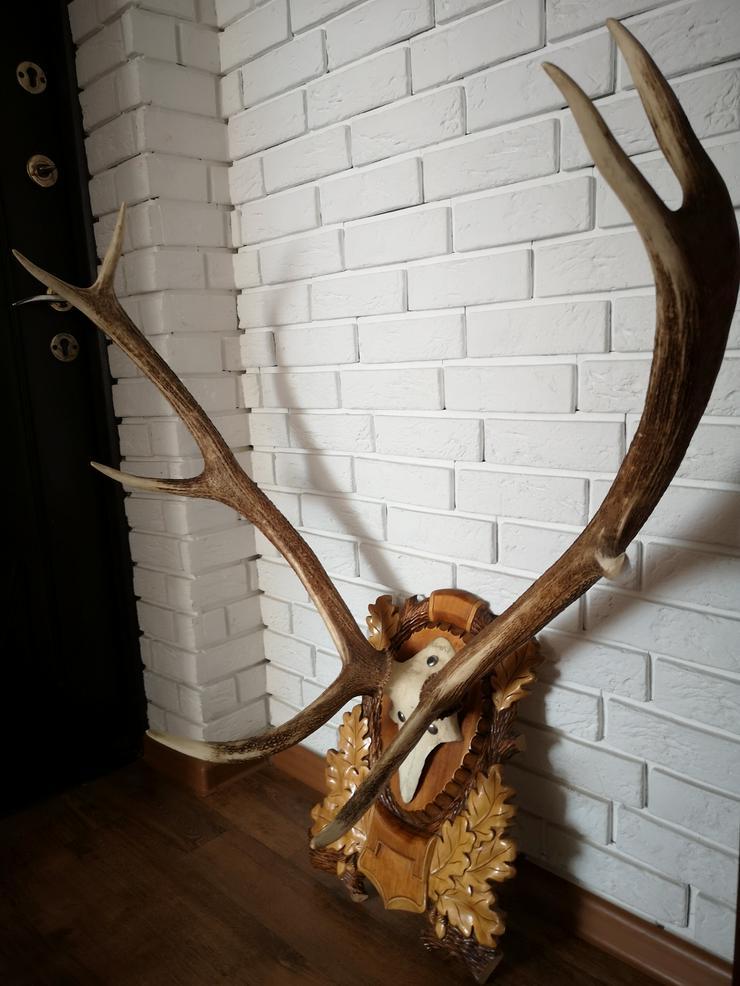 Schönes Geweih, GROSSE HÖRNER, Red Deer Broad HIGH