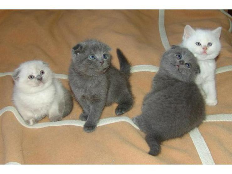 BKH Kätzchen Britisch Kurzhaar Katze Kater bkh Bluepoint