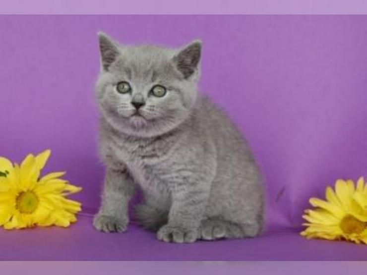 Bild 3: BKH Kätzchen Britisch Kurzhaar Katze Kater bkh Bluepoint