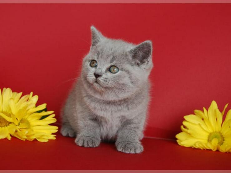 Bild 4: BKH Kätzchen Britisch Kurzhaar Katze Kater bkh Bluepoint